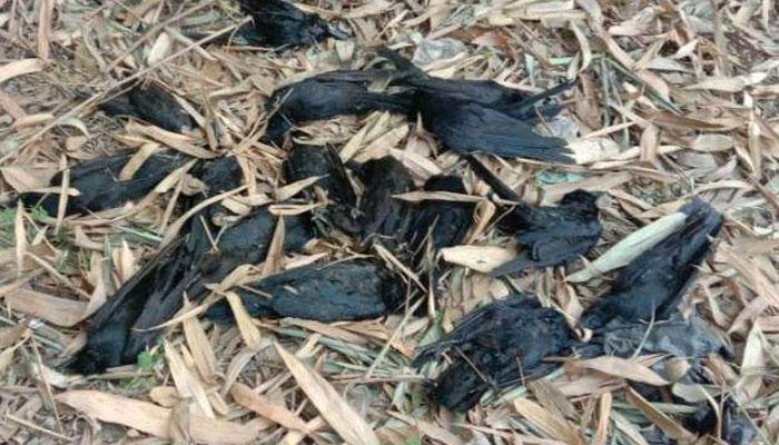 দেশে নতুন বিপদ! আচমকাই মারা পড়ল কয়েকশো কাক (Crow), মন্দিরের বাইরে ছড়িয়ে মৃতদেহ