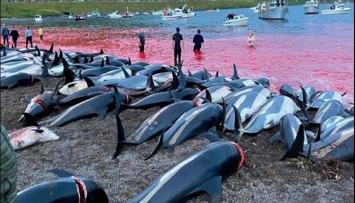 ১,৪০০ তিমি মৃত্যুতে অভিযুক্ত সরকার, বন্ধ হবে না শিকার / Outcry against Faroe Island government for dolphin slaughter