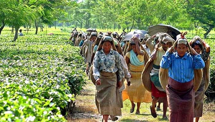 ভোটগ্রহণ মিটতেই বন্ধ হয়েছে মজুরি, সুদিন গিয়েছে ডুয়ার্সের চা-শ্রমিকদের