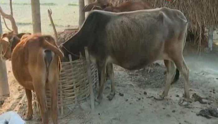 Central ministry of science and technology proposes research on Native breeds of cows