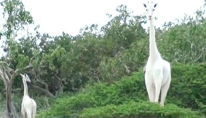 বিরলতম প্রজাতির দুটি সাদা জিরাফ মারল চোরাশিকারীরা, পৃথিবীতে রইল আর মাত্র একটি