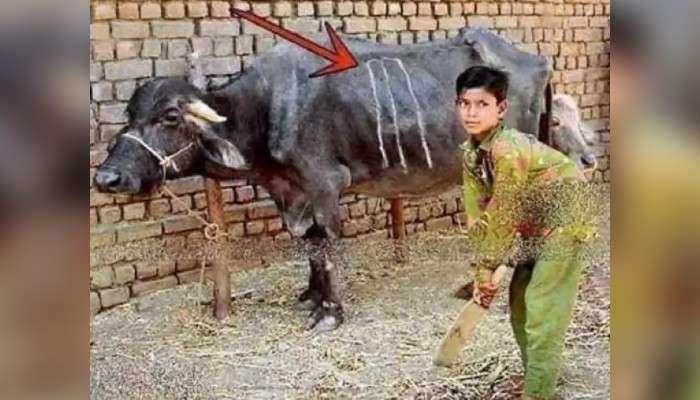 মোষের গায়ে উইকেট আঁকা! ''এখানে আজীবন ব্যাট করা যাবে!'' বলছেন পাকিস্তানের প্রাক্তন তারকা