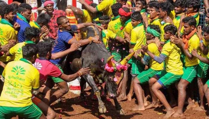 Jallikattu'তে সম্মতি Tamil Nadu সরকারের, আরোপ বিধিনিষেধ