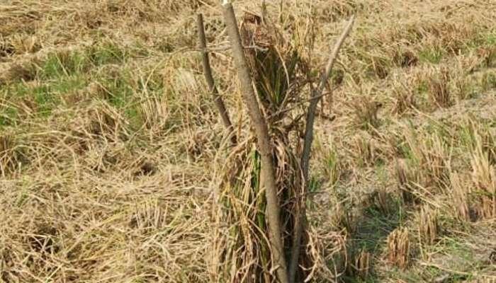 জমিতে পাখির বাসা, পাখির স্বার্থে ফসল কাটা বন্ধই করে দিলেন কৃষক