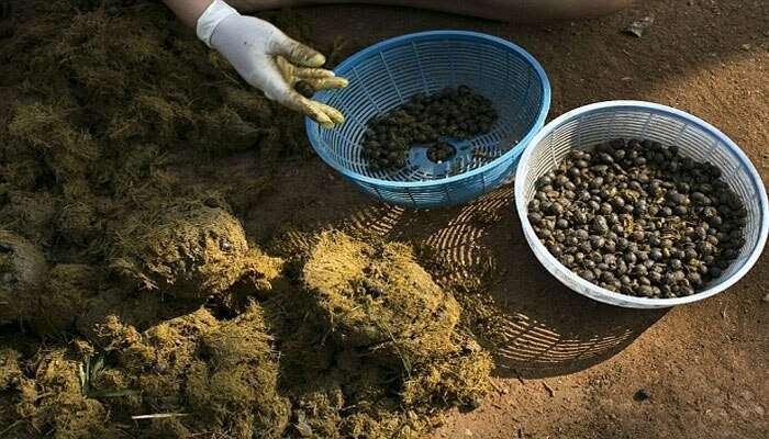 প্রাণীর বর্জ্য থেকেই পাওয়া যায় সুস্বাদু কফি, দাম আকাশছোঁয়া